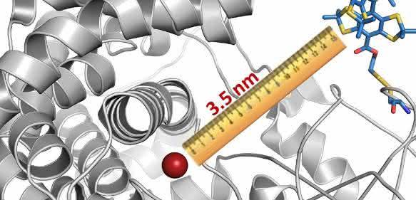 Die Wissenschaftler haben ein Cytochrom-Molekül mit einem magnetischen Etikett versehen (blau-gelb-rote Struktur rechts oben). In diesem Fall fungierte ein Bestandteil des Cytochroms (rot) selbst als zweites Label; es war also keine weitere Markierung nötig. Mit ihrer Methode konnten die Forscher dann den Abstand zwischen beiden Labeln bestimmen. (© AG Schiemann / Uni Bonn)