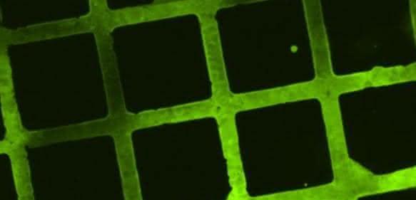 Im mikroskopischen Fluoreszenzbild lassen sich die Strukturen aus Molekülen erkennen, die zu Testzwecken auf die bioabbaubare Beschichtung gedruckt wurden. (Bild: KIT)
