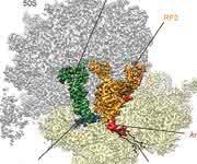 Kryo-elektronenmikroskopische Struktur: Die Interaktion von ArfA (rot) mit dem Terminationsfaktor (gelb) recycelt durch defekte mRNA (blau) blockierte Ribosomen. (Bild: LMU / Nature)