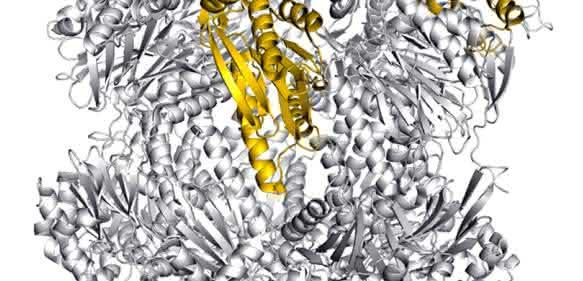 Struktur des Immunoproteasoms - eingefärbt: mögliche Angriffsstellen zur selektiven Blockade des Immunoproteasoms. (Bild: Eva Huber, Michael Groll / TUM)