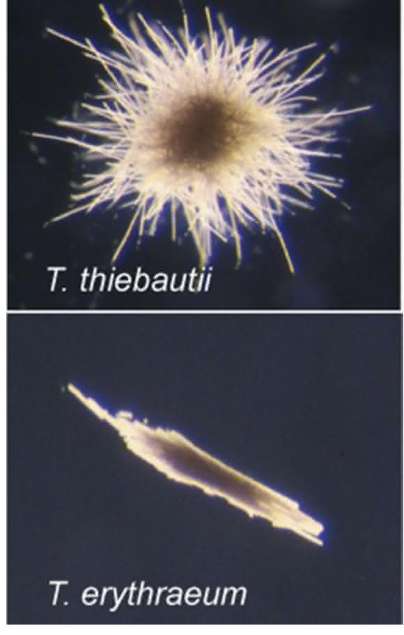 Cyanobakterien