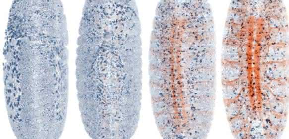 Fruchtfliegenembryo