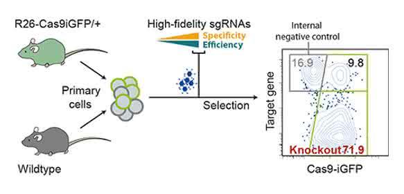 Effiziente Anwendung von CRISPR/Cas9 bei primären Zellen (Grafik: Robin Graf, MDC).