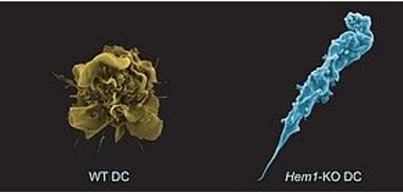 dendritischen Zelle