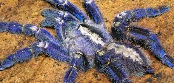 Die blaue Vogelspinne (Poecilotheria metallica) inspirierte Forscher zur Herstellung nicht irisierender struktureller Farben. (Foto: Tom Patterson)