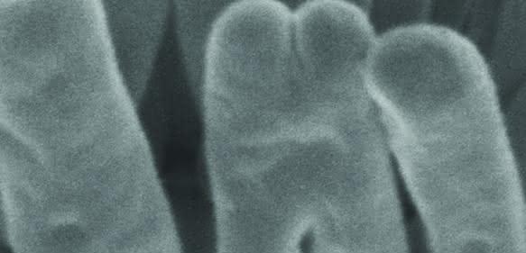 Elektronenmikroskopiebild des Robbea hypermnestra-Symbionten angeheftet an die Oberfläche seines Fadenwurm-Wirts. Der am Wirt angeheftete Pol ist eingeschnürter als der freiliegende. Maßstab: 1 µm. (Copyright: Nikolaus Leisch, Nature Microbiology)