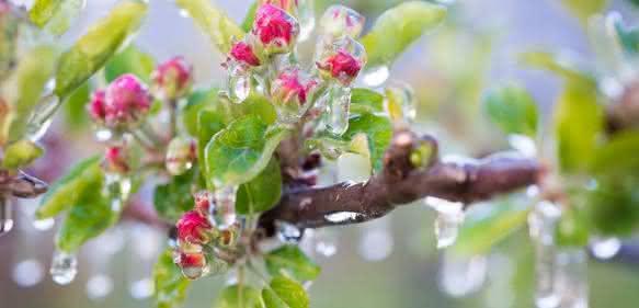In der Landwirtschaft und im Gartenbau wird Frühfrost (früh im Jahr; noch in der Vegetationsperiode) gefürchtet, weil er – genau wie Spätfrost – zu Ernteausfällen führen kann. Bei Frühfrostgefahr wird frostberegnet etwa bei Apfelbäumen. (Foto: mit Genehmigung v. D. Mitterer-Zublasing)