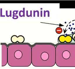 Lugdunin