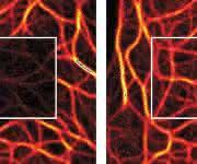 Die Protected STED-Technologie (rechts) verringert das Ausbleichen von Farbstoffen im Vergleich zu herkömmlicher Fluoreszenzmikroskopie (links) © Nat. Photon., 2016.