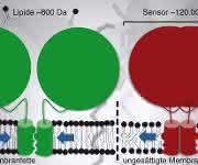 Während eine Membran aus gesättigten Membranfetten den Sensor aktiviert (grün) und die Synthese ungesättigter Fettsäuren anregt, führt die lockere Packung der ungesättigten Membranfette zur Inaktivierung des Sensors. Dabei drehen sich die Zylinder-förmigen Messfühler in der Membran überaus leichtgängig gegeneinander, so dass ihre raue Oberfläche entweder nach innen (grün) oder nach außen (rot) zeigt. Der Kampf von David, ein Membranfett von 800 Dalton (1 Dalton entspricht der Masse von einem Wasserstoffatom) gegen Goliath, ein Sensor von 120000 Dalton, wird durch kollektive Kräfte in der Membran (blaue Pfeile) entschieden. (Urheber: Robert Ernst)