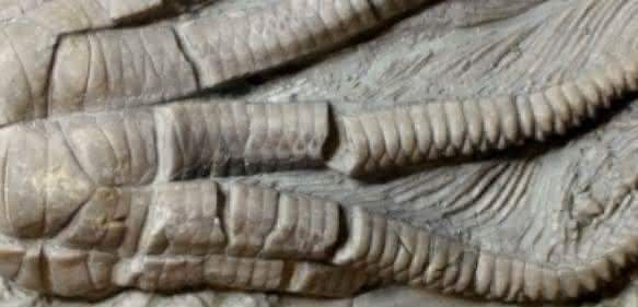 Fossiler Kelch eines Encrinus liliiformis. Maßstab: 1 cm. (Abbildung: Dynowski et al.)