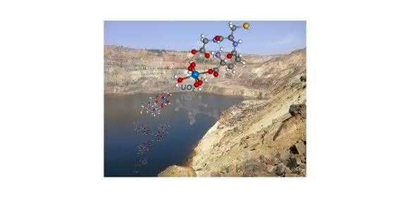 Wird Uran in das Molekül Glutathion eingebaut, sinkt die chemische Toxizität des Schwermetalls. (Collage: Karim Fahmy / HZDR)