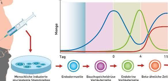 Reifung von induzierten pluripotenten Stammzellen