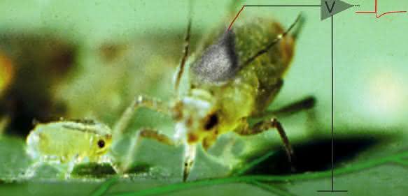Blattläuse