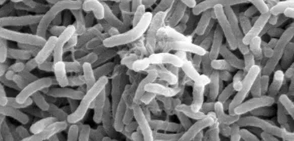 Cholera-Bakterien