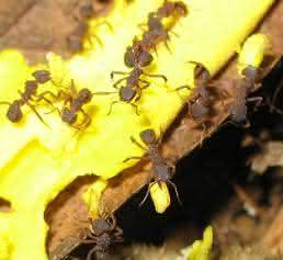 Pilzzüchtende Ameisen