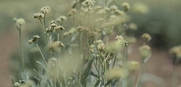 Kautschukpflanze Guayule