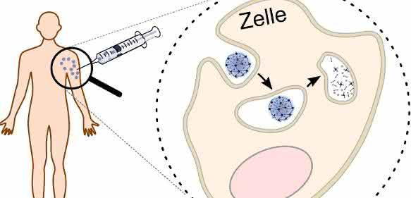 Die Proteine für die spezifische Immuntherapie werden in abbaubare Nanotransporter verpackt. Durch die Verpackung der Proteine in den Nanotransporter kann die Immuntherapie mit verringerten Nebenwirkungen durchgeführt werden. Innerhalb der Zelle wird der Nanotransporter gespalten und setzt seine Fracht frei, so dass die Gewöhnung an das Protein stattfinden kann. (Abb./©: Hannah Pohlit)