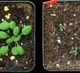 Arabidopsis-Keimlinge