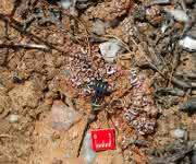 Bodenfeuchtesensor im Einsatz in einer durch Flechten dominierten Bodenkruste in der Sukkulentenkaroo, einer Halbwüste in Südafrika