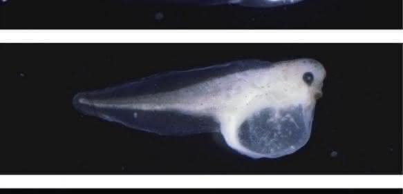 Krallenfroschkaulquappen