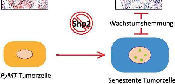 Zellschutzprogramm Seneszenz