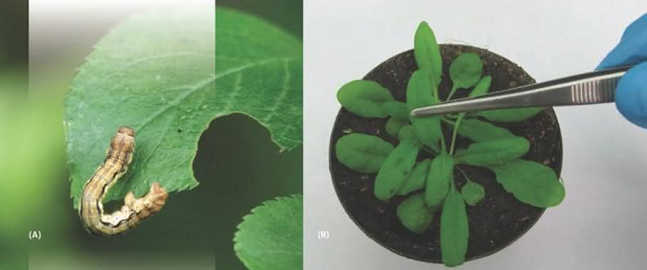 Schäden am Blatt durch fressende oder saugende Insekten