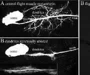 Flügel-Senker-Motorneuronen