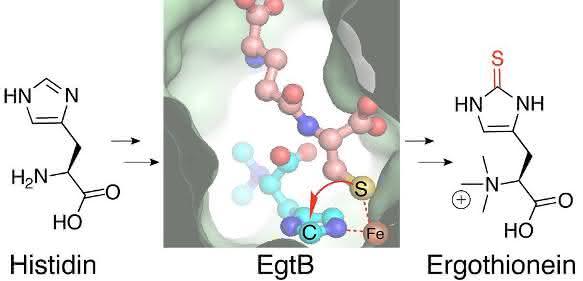 Enzym EgtB