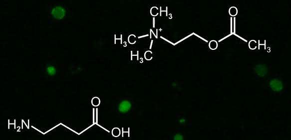 Kenyonzellen