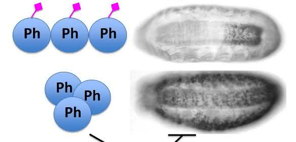 Fliegenembryos