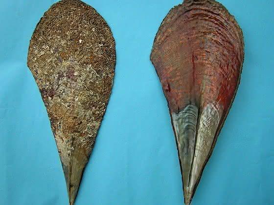 Steckmuschel