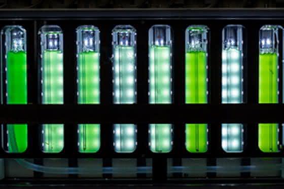 Cyanobakterien im Fotobioreaktor