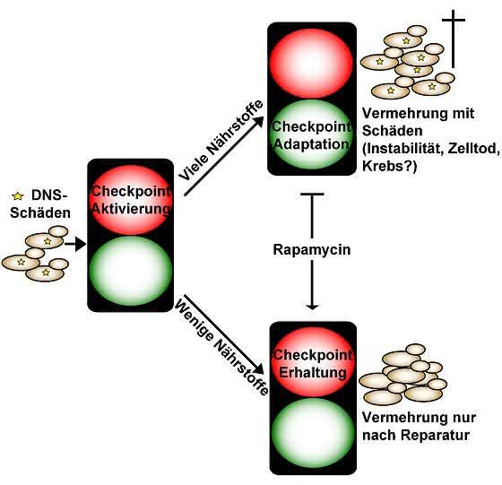 Auswirkungen der Nährstoffzufuhr auf die Zellvermehrung