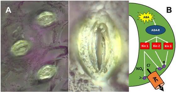 Signalkette für Schließzellen im Fokus: Wassersparende Pflanzen als Ziel