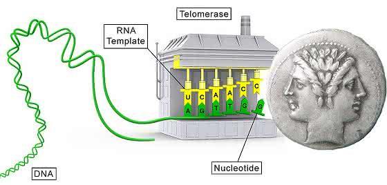 Enzym wird auch von Tumorzellen genutzt: Telomerase mit neuer Funktion
