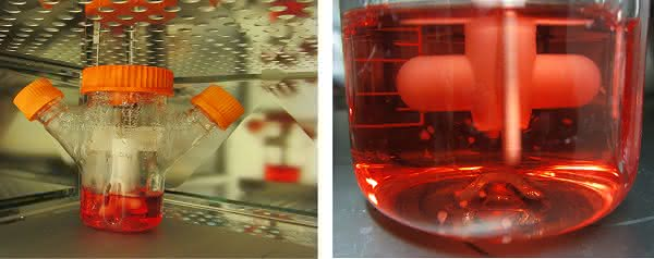 Stammzellforschung: Gehirnmodell aus der Organkultur