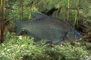 News: Umweltbelastungen mit Fischen ermitteln