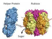 News: Photosynthese-Helferprotein entdeckt