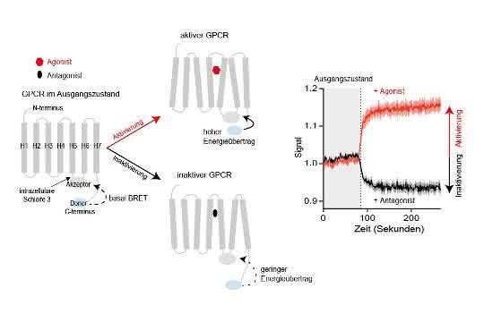 Mit neuartigen Sensoren lässt sich die Aktivierung oder Inaktivierung von GPCRs mit Hochdurchsatzverfahren messen.