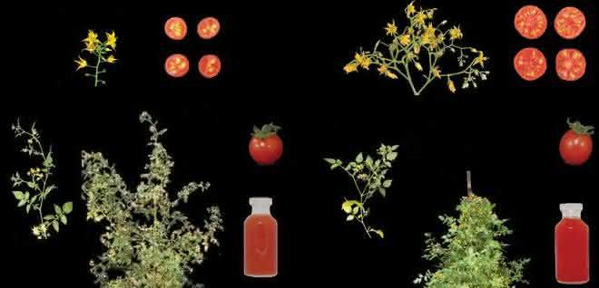 Die neue Zuchttomate (rechts) hat verschiedene Domestikations-Merkmale, die sie von der Wildpflanze (links) unterscheiden.
