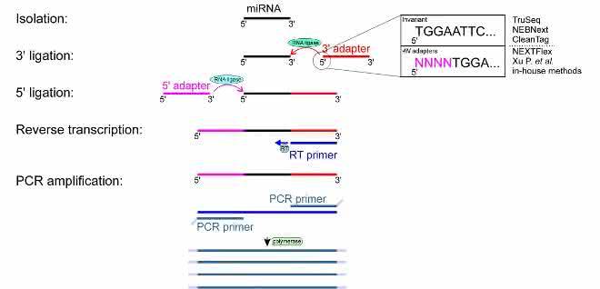 Bild 2: Experimentelle Schritte der kleinen RNA-Seq.