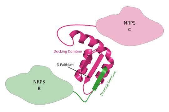 3D-Struktur eines NRPS Docking Domänen-Paares. Die Docking-Domäne von NRPS B (grün) bindet über ein β-Faltblatt an die passende Docking-Domäne von NRPS C (magenta).
