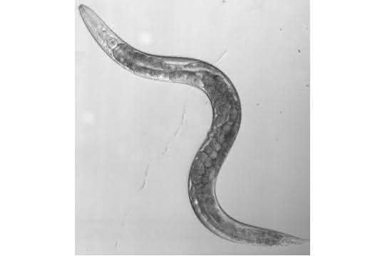 Fadenwurm C. elegans.
