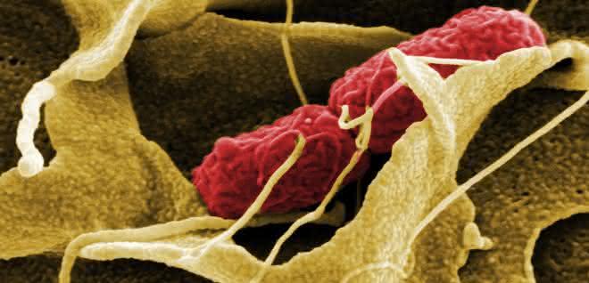 Die Wirtszelle umschließt eine Salmonelle mit Ausstülpungen ihrer Membran und ermöglicht ihr so erst die Infektion.