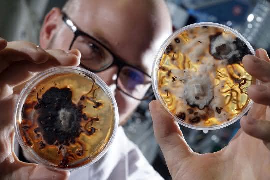 Doktorand Maximilian Dörfer vom Institut für Pharmazie der Friedrich-Schiller-Universität Jena betrachtet Petrischalen mit Pilzulturen des honiggelben Hallimasch (Armillaria mellea).