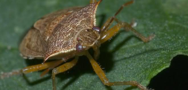 Die nordamerikanische Baumwanze Podisus maculiventris.