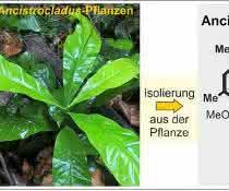 Von der Pflanze zum Wirkstoff