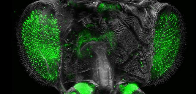 Großaufnahme des Drosophila-Kopfes aus dem Ultramikroskop.