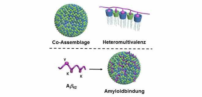 """Oben: Zwei lipidartige Komponenten bilden in Wasser durch Selbstorganisation (""""Co-Assemblage"""") Nanopartikel mit sehr vielen unterschiedlichen Kontaktpunkten (blau und grün dargestellt; links). Dadurch, dass viele unterschiedliche Kontaktpunkte zeitgleich mit dem Protein (violett dargestellt) wechselwirken, entsteht eine besonders hohe Selektivität (""""Heteromultivalenz""""; rechts). Unten: Die Nanopartikel binden über ihre Kontaktpunkte (grün und blau) die Amyloide, hier konkret Amyloid-beta 42 (violett), und verhindern dadurch deren Aggregation. Die Bindung erfolgt über die entsprechenden Kontaktstellen des Amyloids (""""Y"""" und """"K""""; links)."""